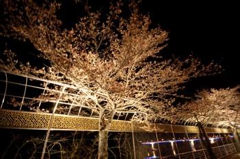 Illuminated cherry trees