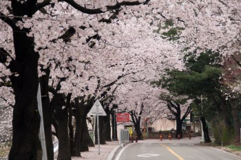 Most of the road is lined with cherry trees