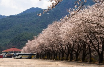 Cherry blossoms at Myeongam valley