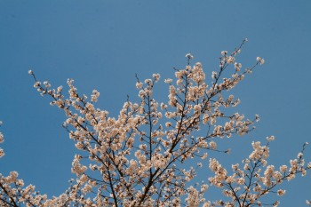 Cherry blossoms against a perfect sky