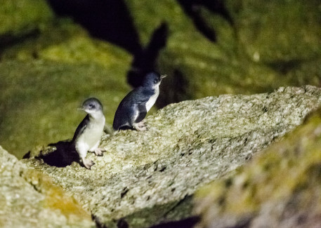 Two Little Penguins. Night vision goggles would have been handy.
