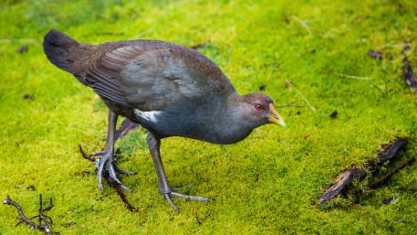 Tasmanische Wildhenne, Gallinula mortierii