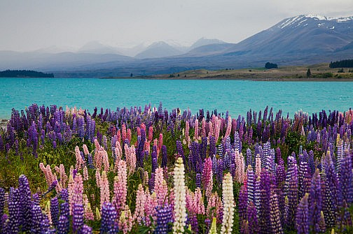 Colorful lupines at Lake Pukaki